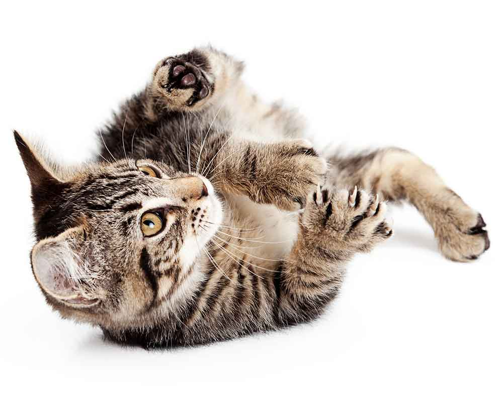 Image of cat laying down and looking up playfully.