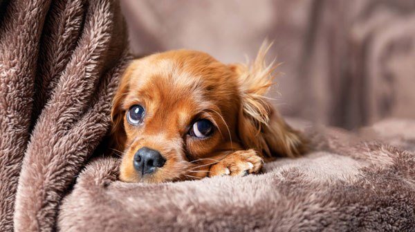 Cute puppy lying on the warm blanket
